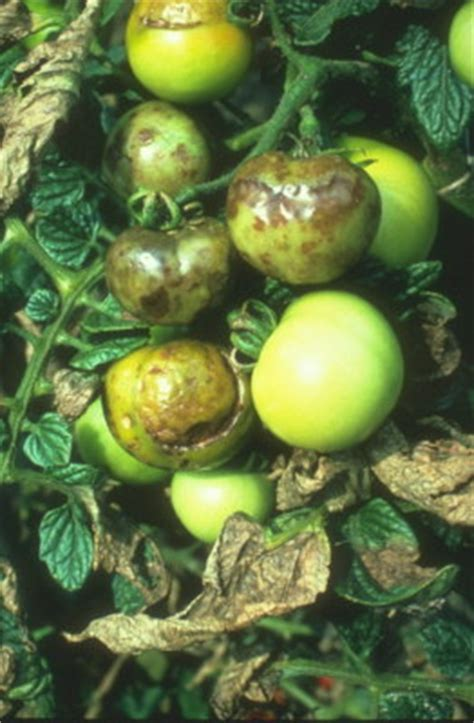 Phytophthora infestans (Mont