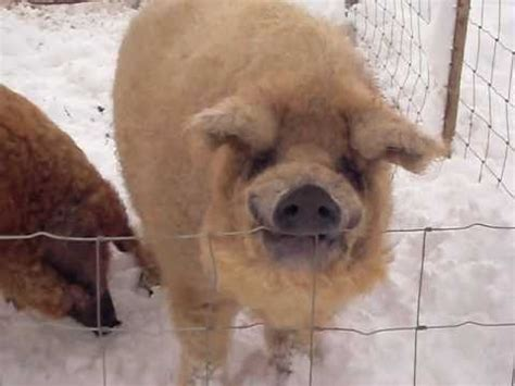 The Winter Woolly Pig - YouTube