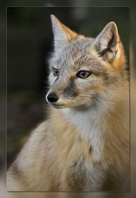 Corsac Fox (Scroll down ↓ to see more in this serie