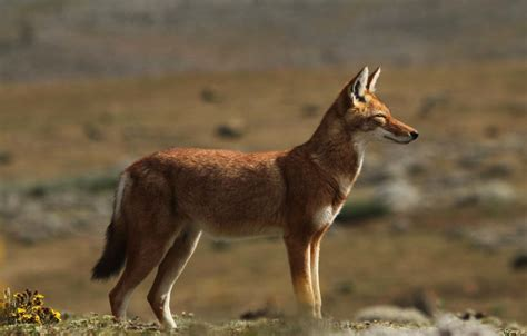 Let's Draw Endangered Species! : ): Ethiopian Wolf