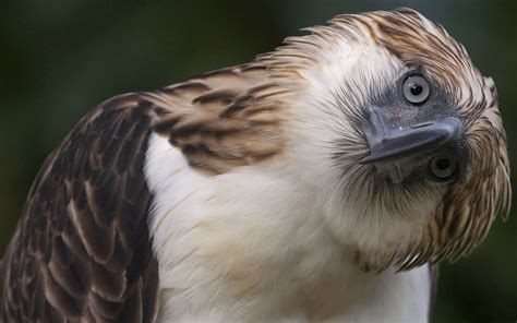 Let's Draw Endangered Species! : ): Philippine Eagle