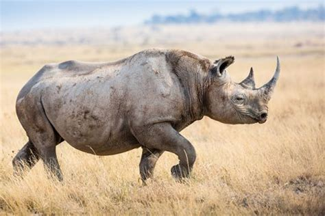 Only Six Northern White Rhinos Are Left on the Planet