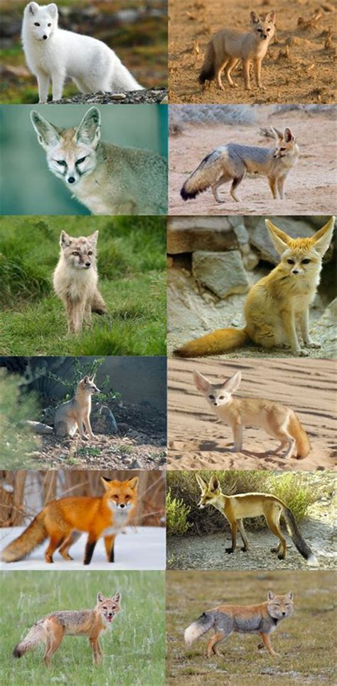 Vulpes is a genus of the Canidae